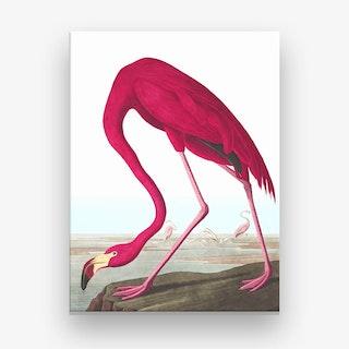 American Flamingo 2 Canvas Print