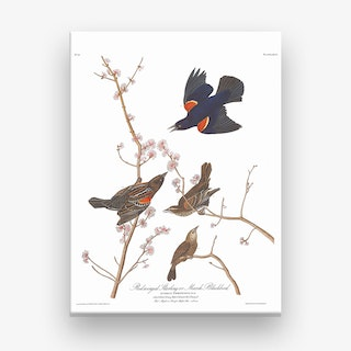 Red Winged Starling Canvas Print