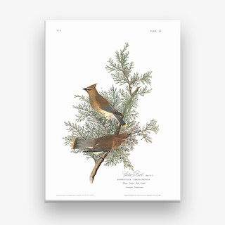 Cedar Bird Canvas Print