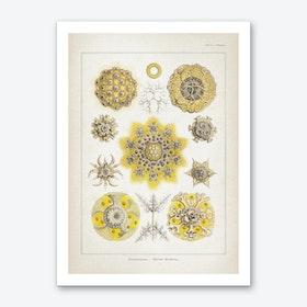 Vintage Haeckel 2 Tafel 51 Art Print
