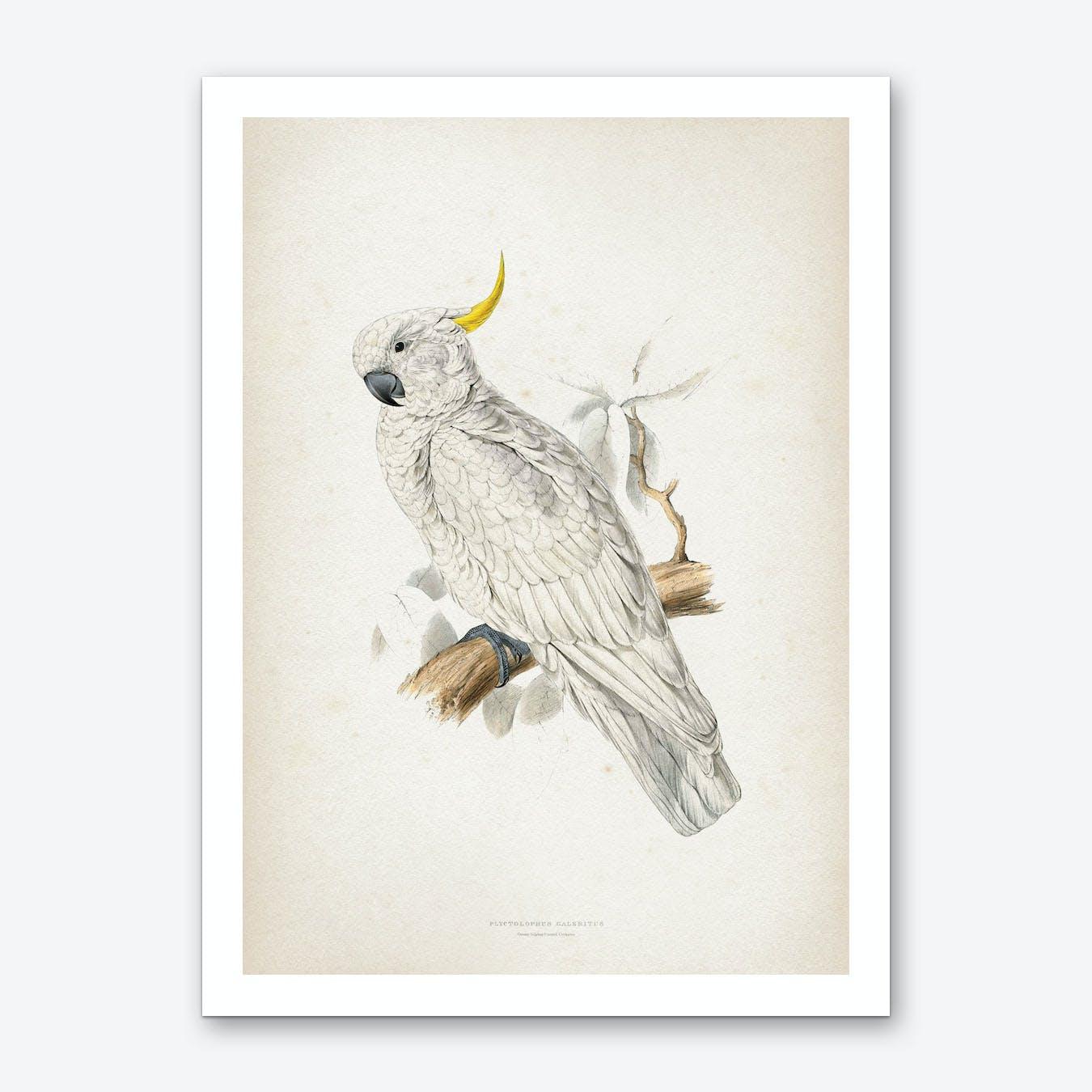 Vintage Lear 1 Plyctolophus Galeritus Art Print