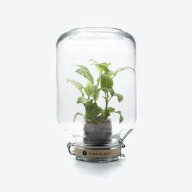 PikaPlant Jar - Fittonia Albivenis