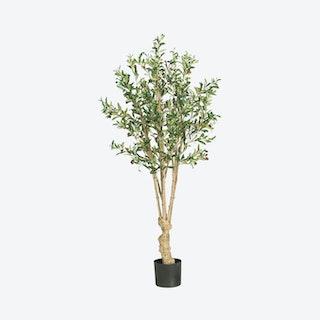 Olive Tree - Green