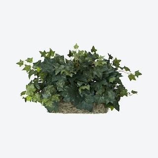 Ivy Ledge Plant - Green