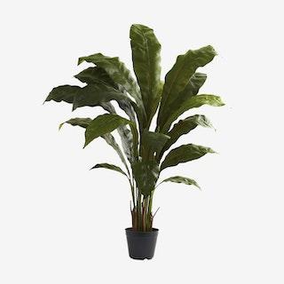 Birdsnest Plant - Green