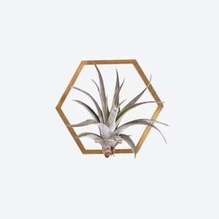 Hexagon Frame Plant Wall Holder with Air Plant - Brass