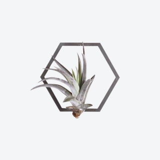 Hexagon Frame Plant Wall Holder with Air Plant - Steel