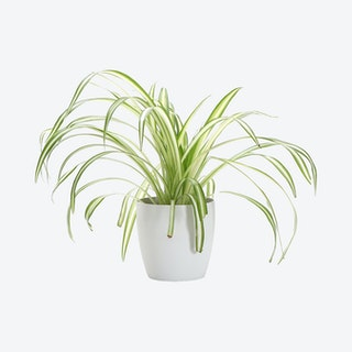 Live Spider Plant with Classic Pot - White