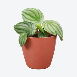 Live Watermelon Peperomia Plant with Biodegradable Pot - Terracotta