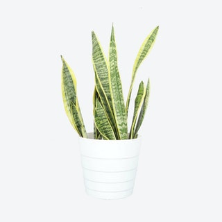 Live Snake Laurentii Plant with Contemporary Pot - White