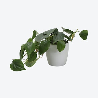 Live Green Philodendron Plant with Classic Pot - White