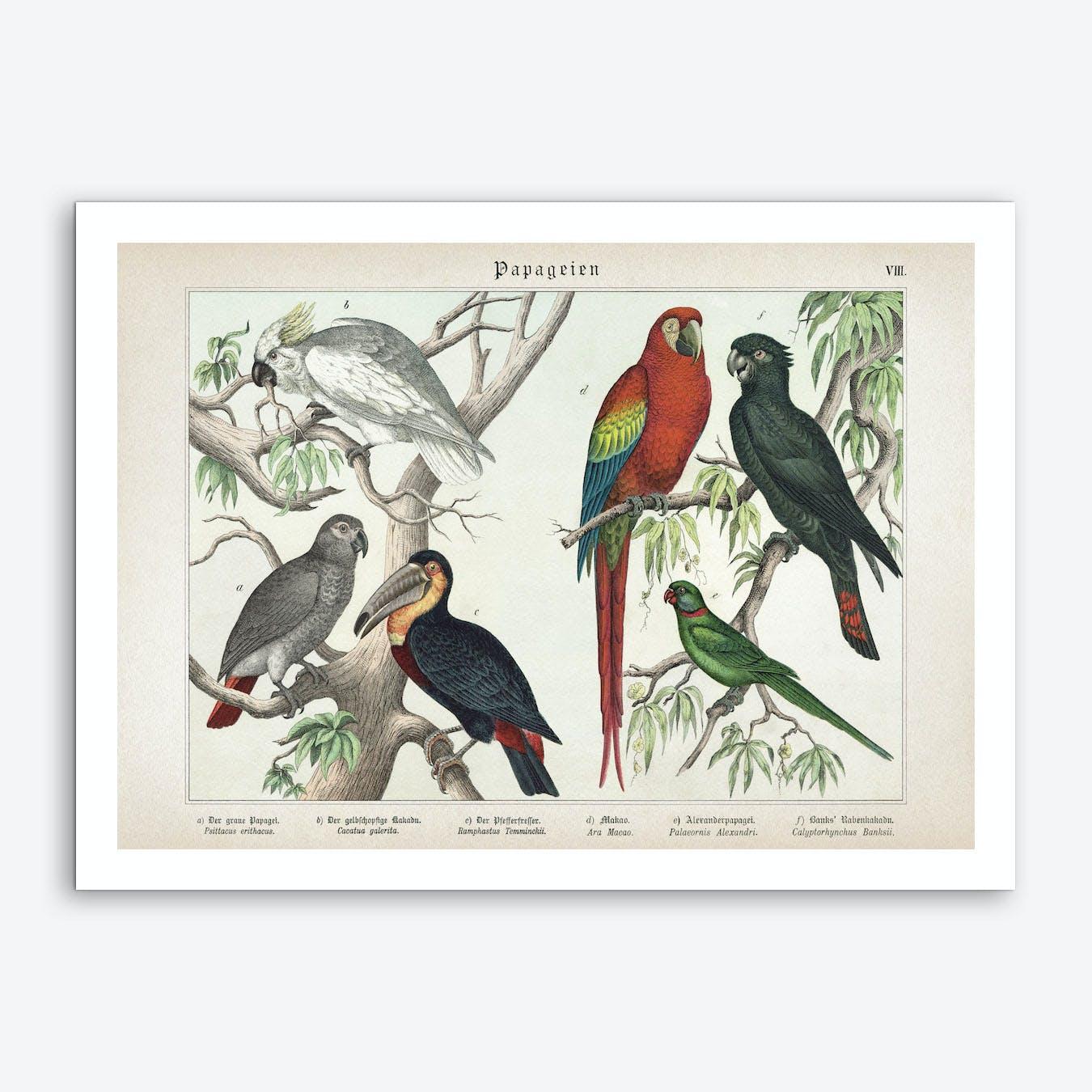 Vintage Schubert 5 Papageien 8 Art Print