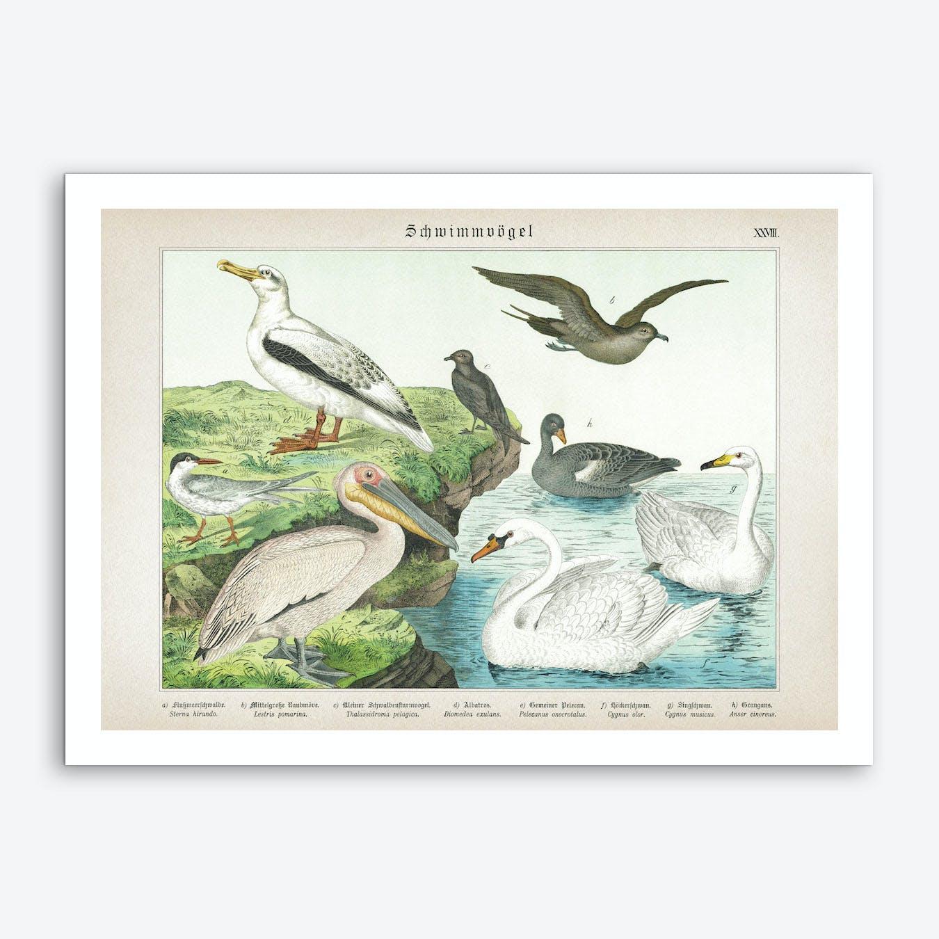 Vintage Schubert 5 Schwimmvögel 28 Art Print