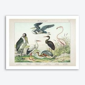 Vintage Schubert 5 Sumpfvögel 25 Art Print