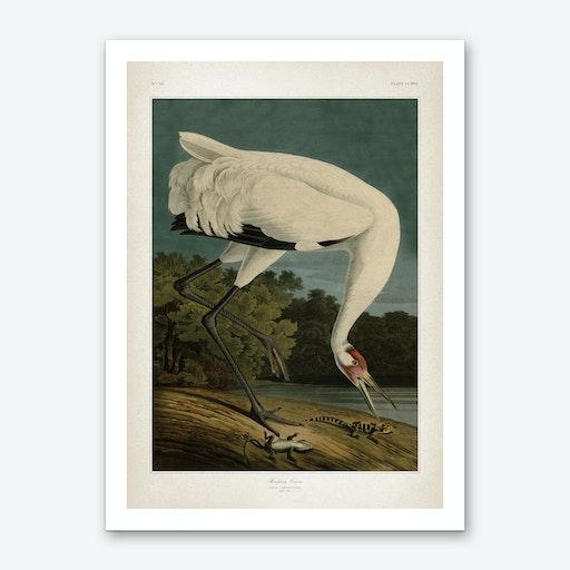 Vintage Audubon 1 Hooping Crane Art Print