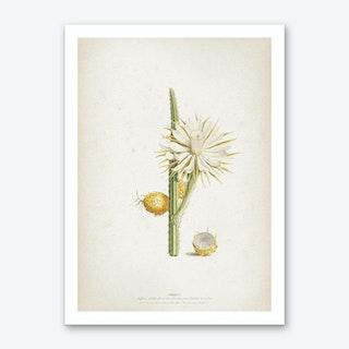 Vintage Ehret 1 Cereus Altissimus Art Print