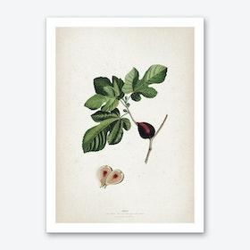 Vintage Ehret 2 Ficus Art Print