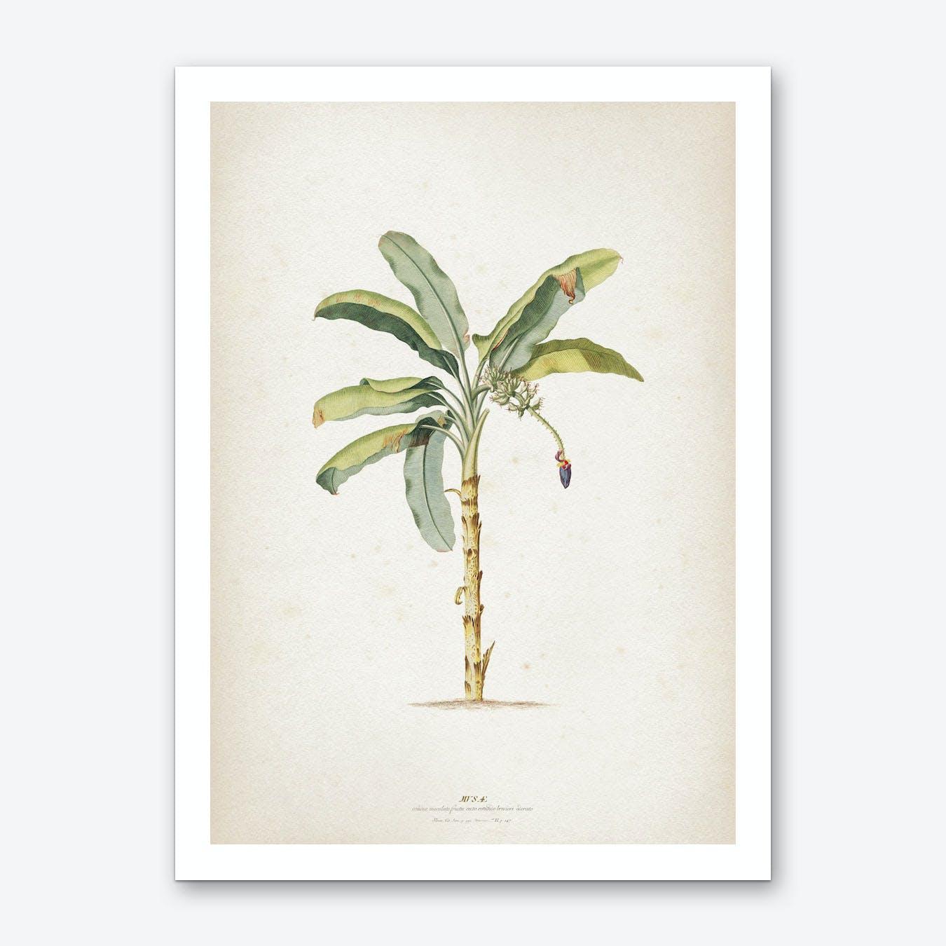 Vintage Ehret 3 Musae Maculato Art Print