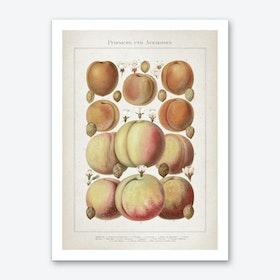Vintage Meyers 6 Pfirsiche und Aprikosen Art Print
