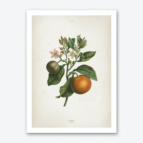 Vintage Redouté 1 Citrus Bigaradia Art Print