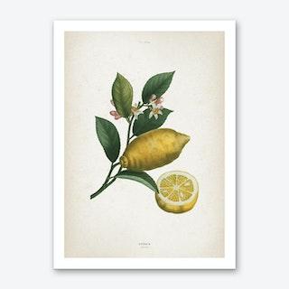 Vintage Redouté 1 Citrus Limonium Art Print