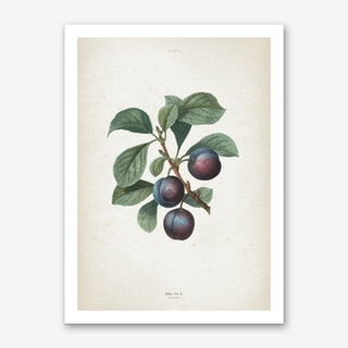 Vintage Redouté 1 Prunus Myrobalana Art Print