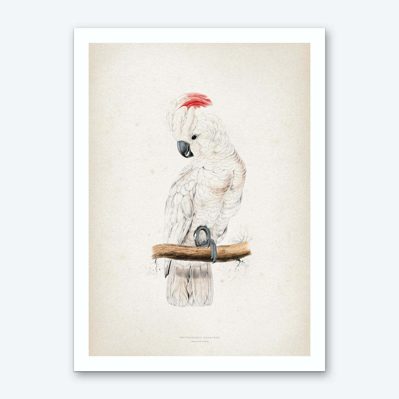 Vintage Lear 1 Plyctolophus Rosaceus Art Print