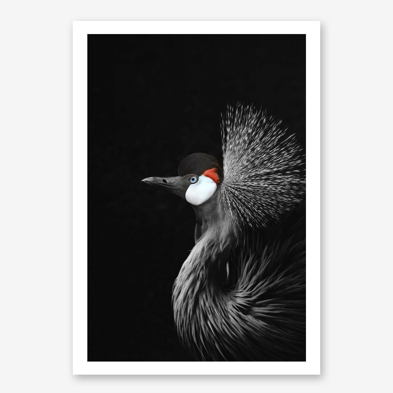 Crowned Crane in Print