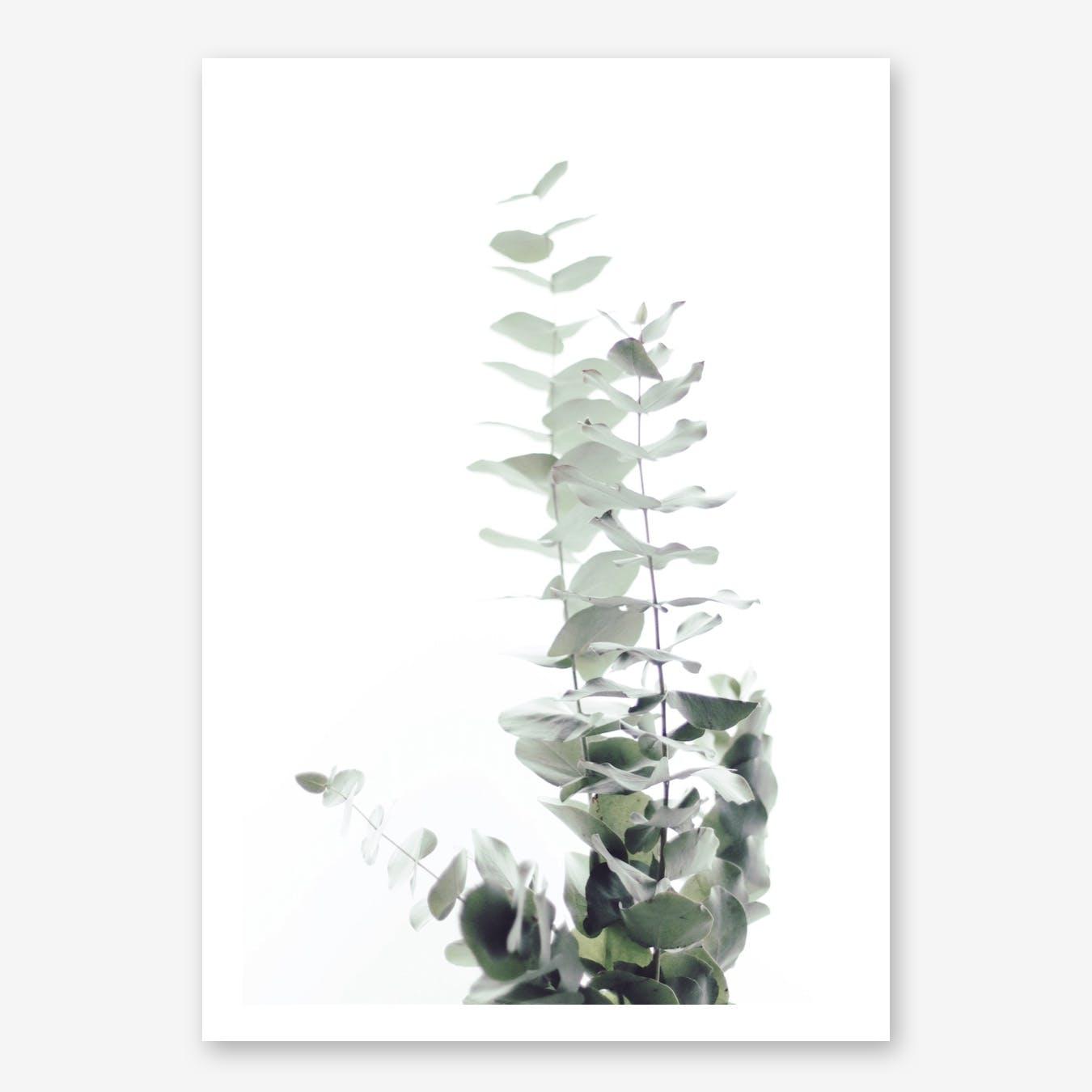 Eucalyptus White II in Print