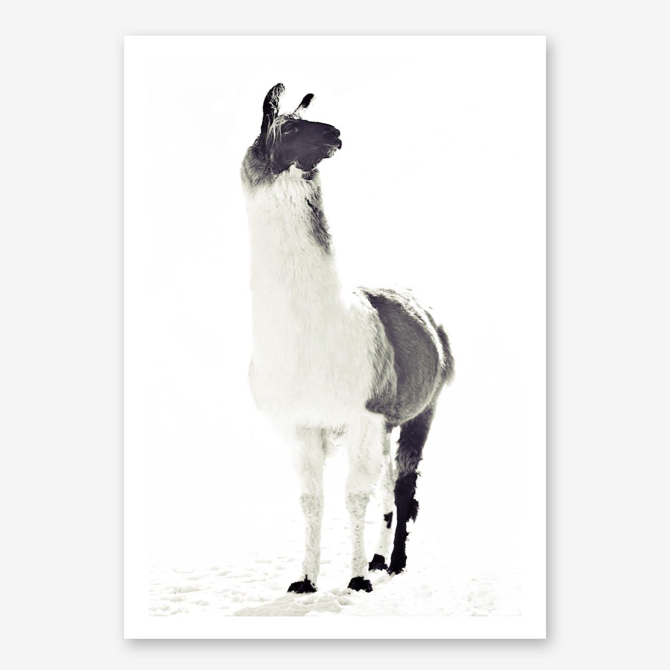 Fluffy Llama in Print
