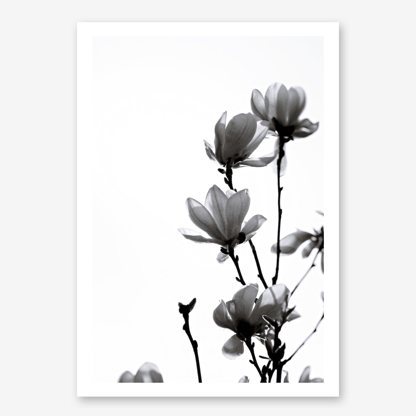 Black Magnolia in Print