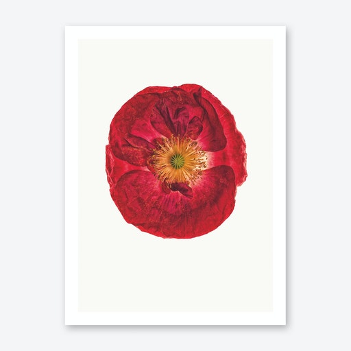 Poppy III Print