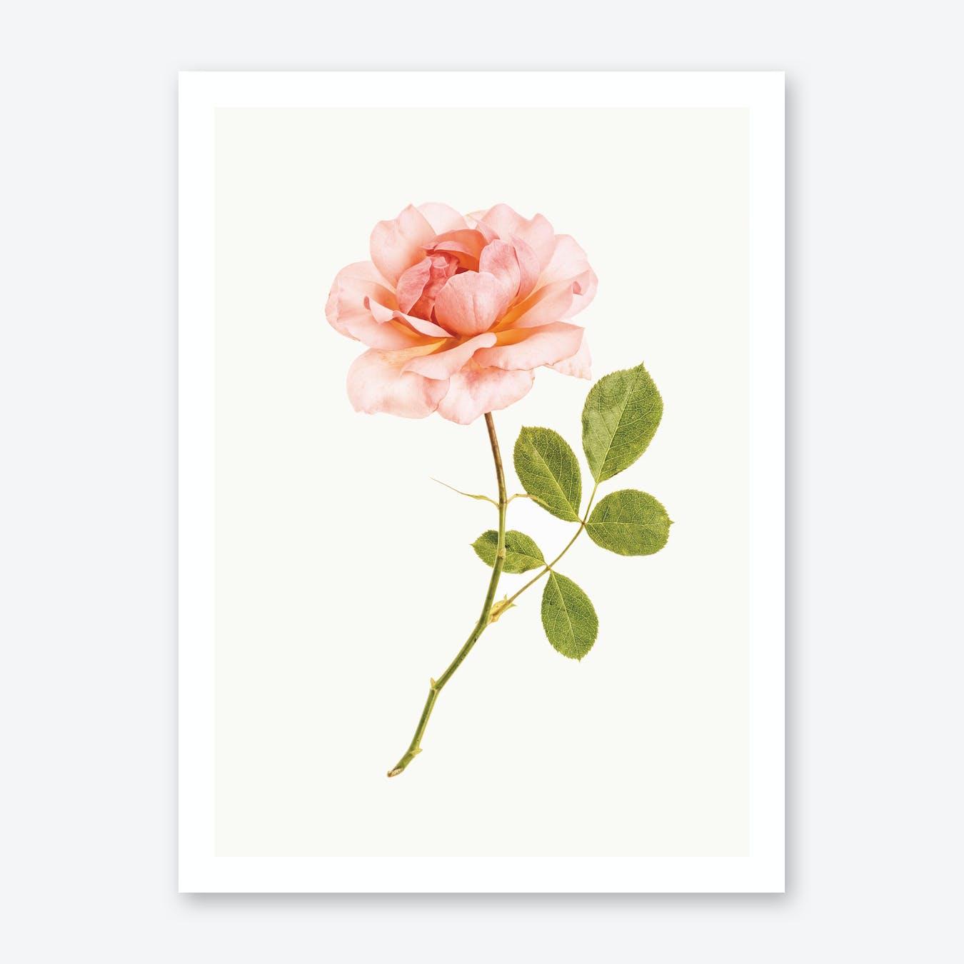 Roses I Print