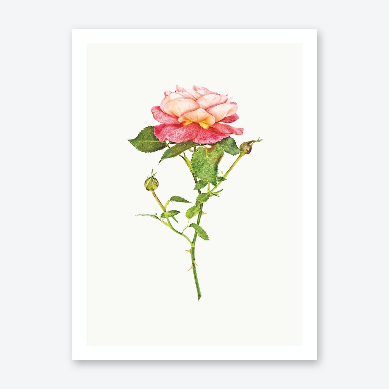 Roses III Print