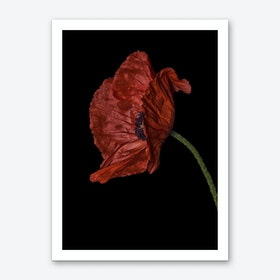 Poppy Red 03 Art Print