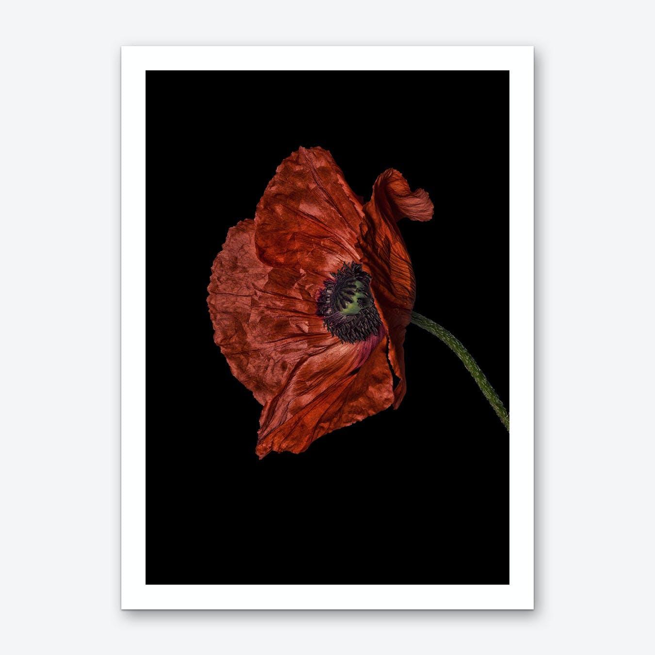 Poppy Red 04 Art Print