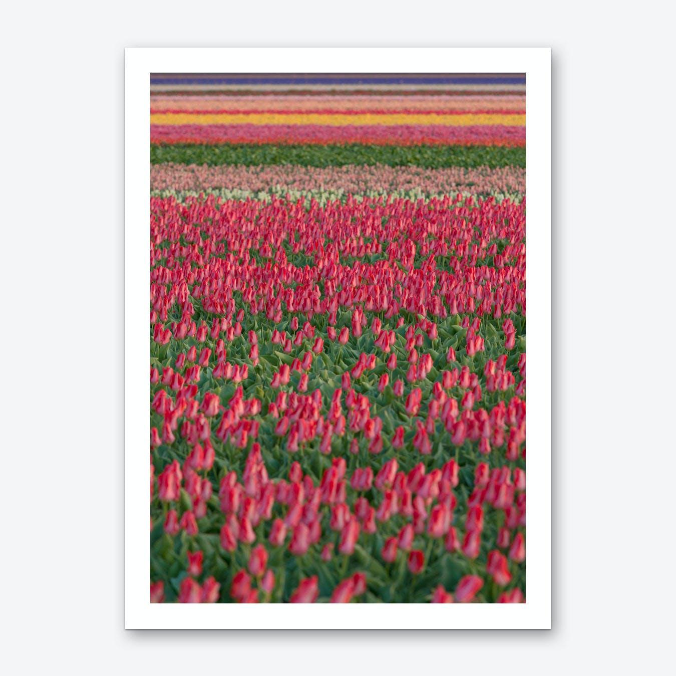 Tulip Field 01 Art Print