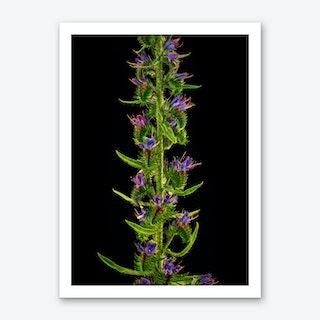 Echium Flower Art Print