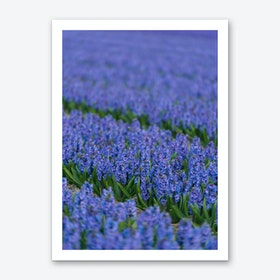 Field of Blue Hyacinths Art Print