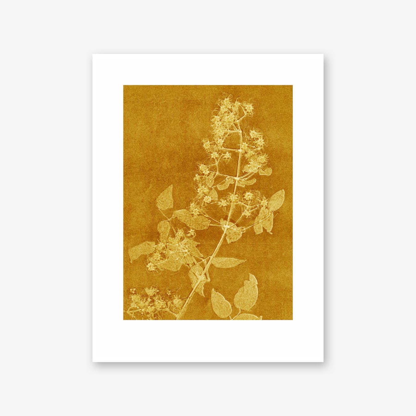 Clematis Curry Print In 30cm x 40cm