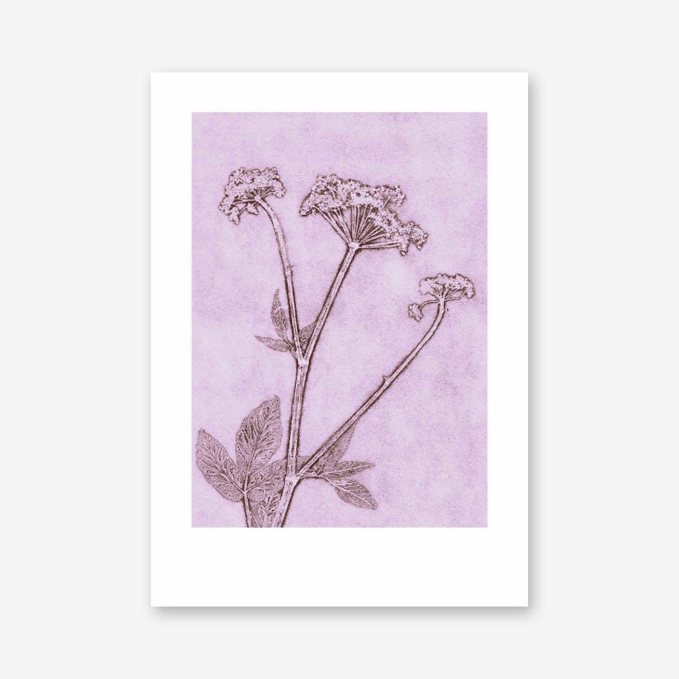 Groundelder Violet Print In 50cm x 70cm