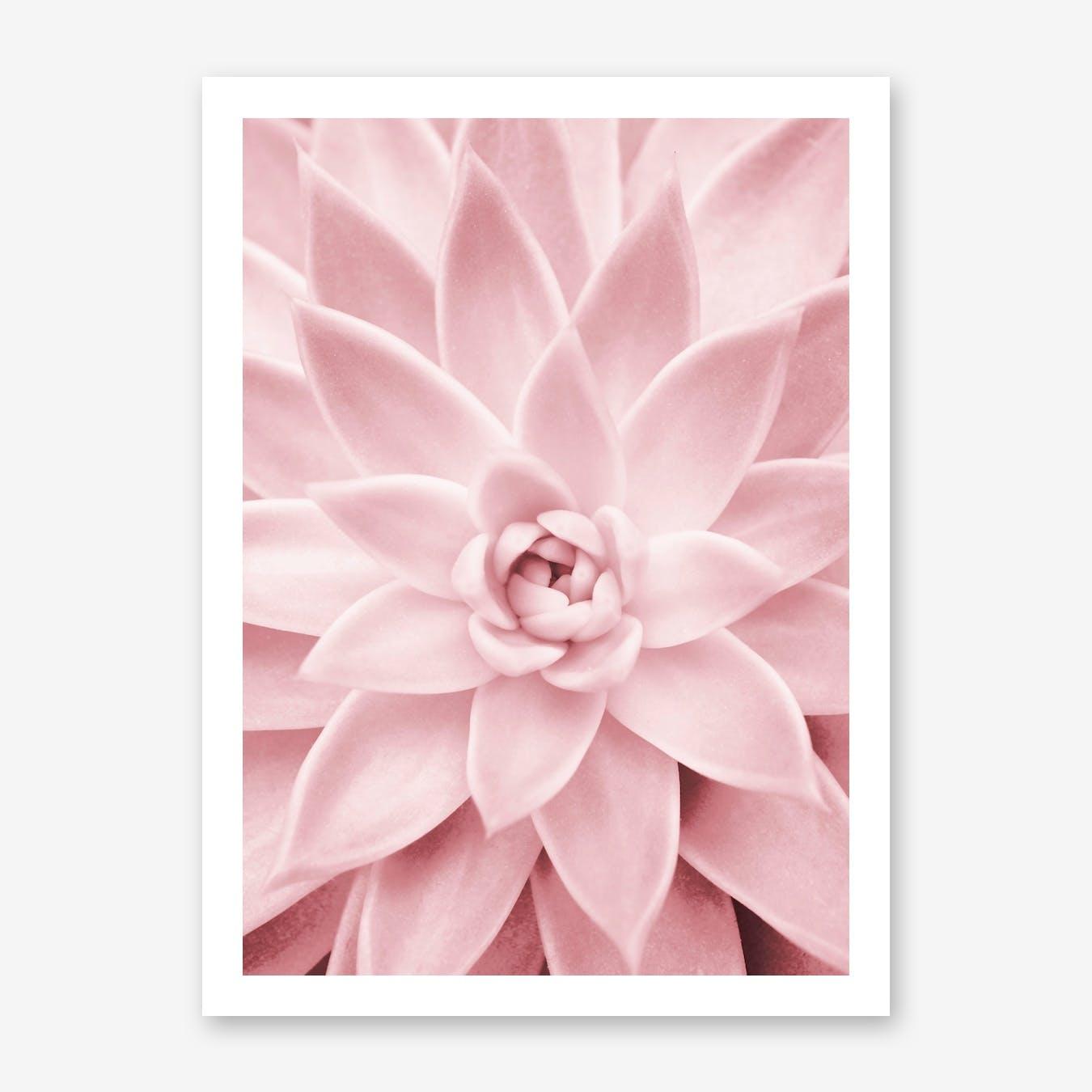 Pink Succulent