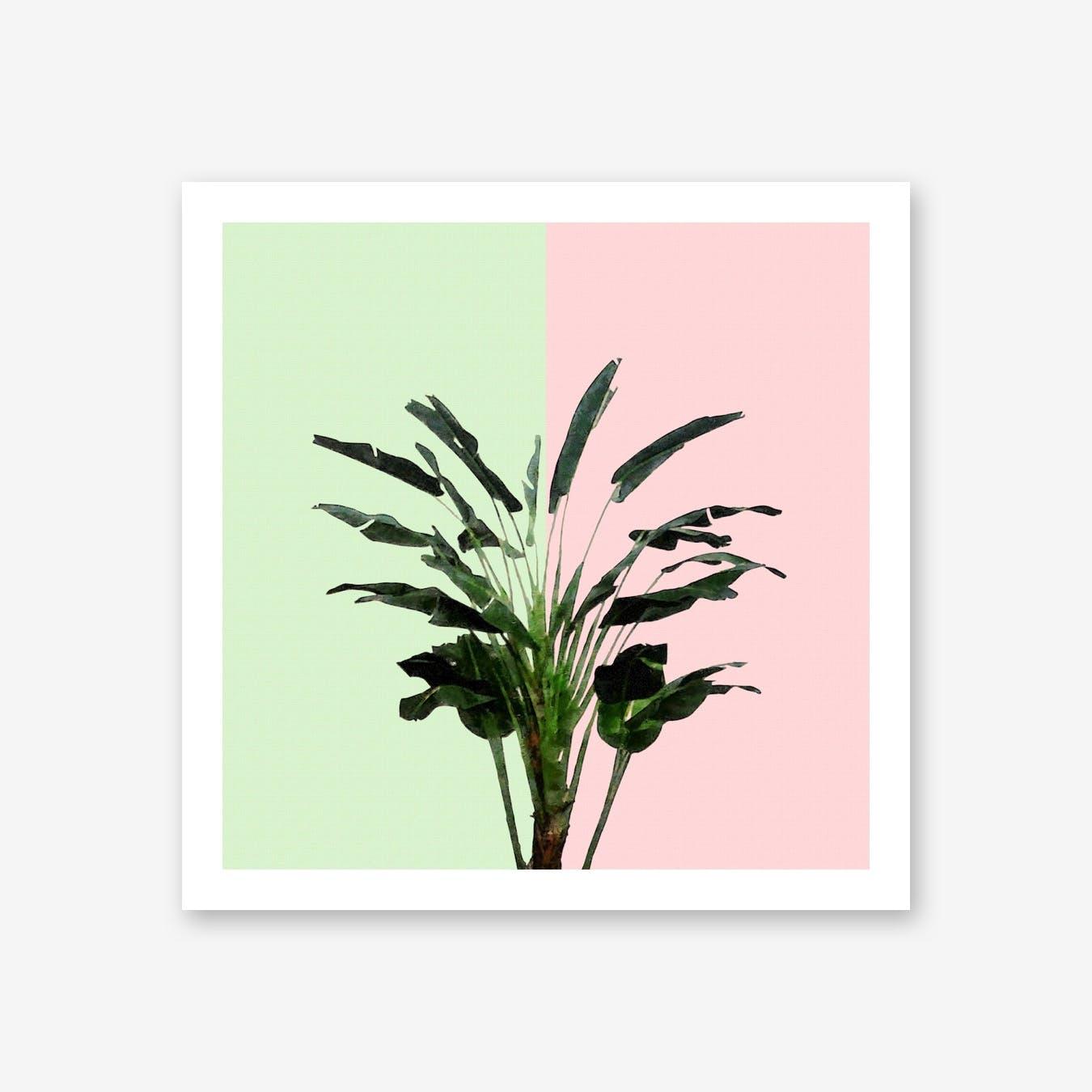 Banana Plant on Pink and Green Wall