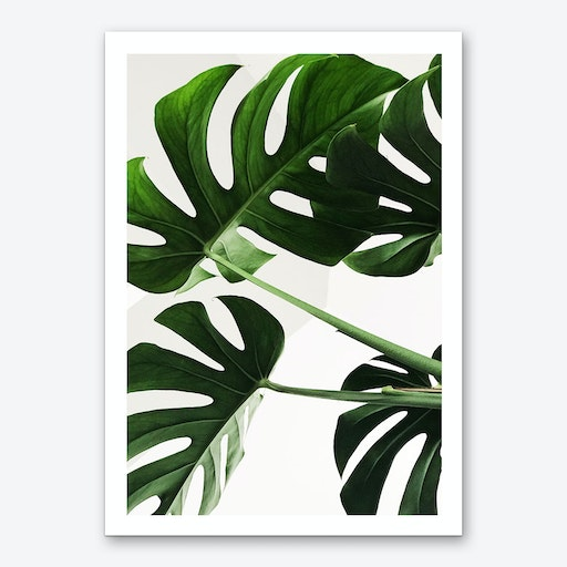 Monstera Leaves Photo