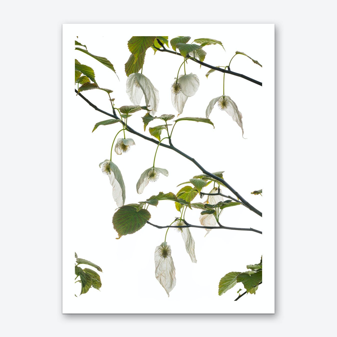 Dove tree Art Print