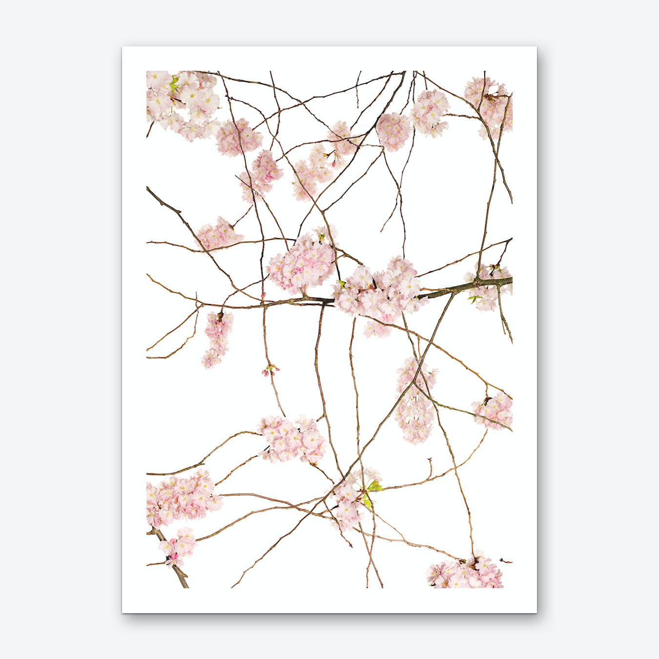 Japanese Cherry Art Print