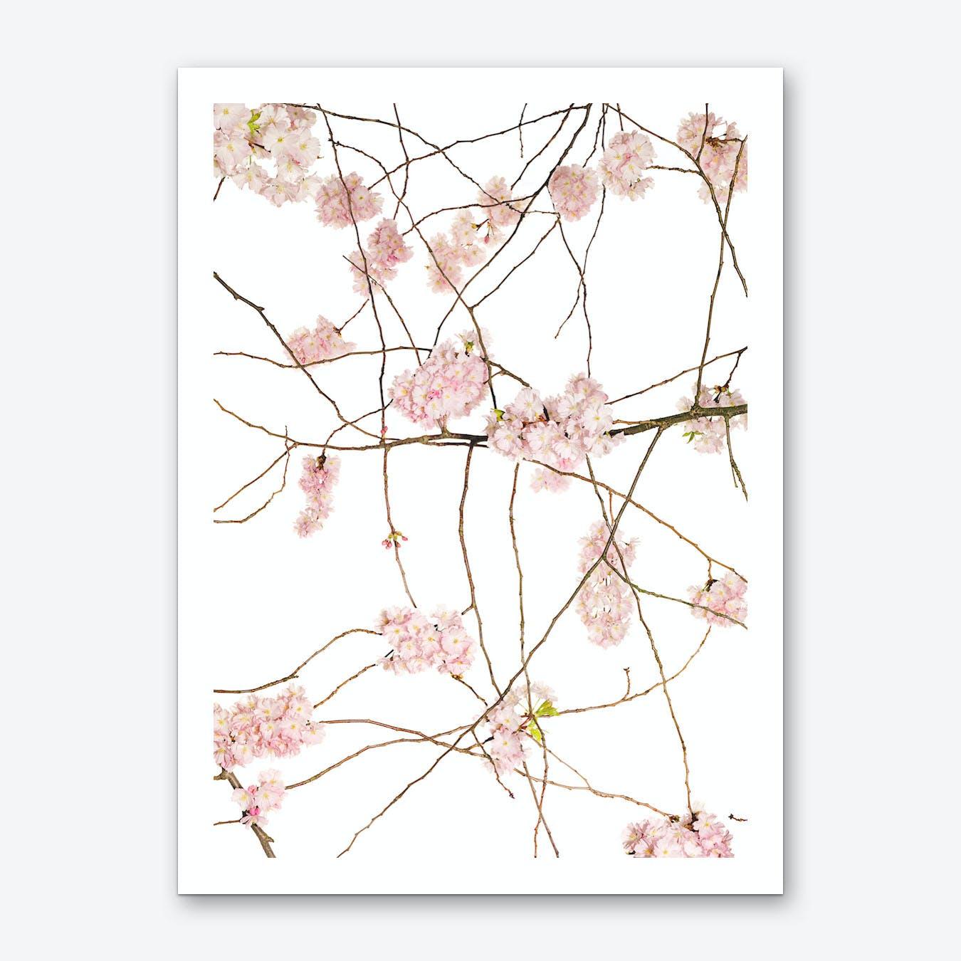 Japanese Cherry Art Print