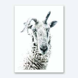 Sheep 1 Art Print