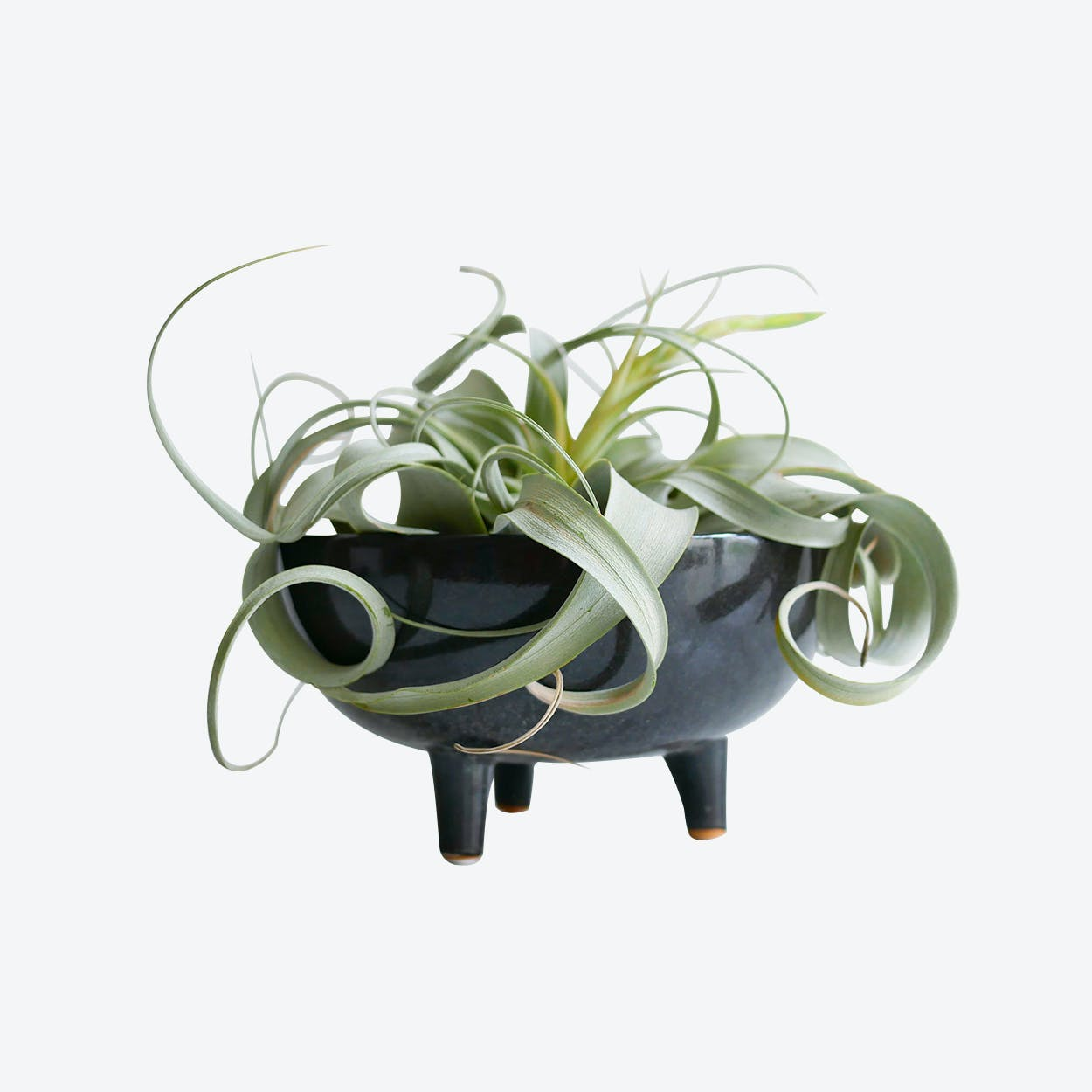 Tillandsia Plant Set (EU Only)