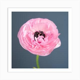 Pink Ranunculus Square Art Print